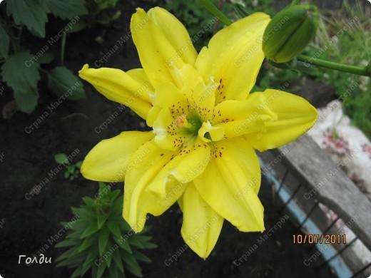 """наш газон """"Восточный орнамент"""". фирма Экзотика. 22 цветка, газон меняет свой облик в течение всего лета,сейчас он такой) никогда не видела раньше белые и розовые маки) фото 3"""