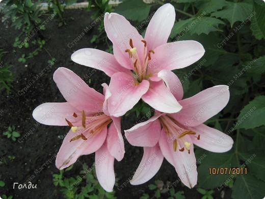 """наш газон """"Восточный орнамент"""". фирма Экзотика. 22 цветка, газон меняет свой облик в течение всего лета,сейчас он такой) никогда не видела раньше белые и розовые маки) фото 2"""