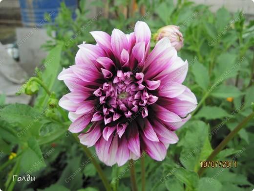 """наш газон """"Восточный орнамент"""". фирма Экзотика. 22 цветка, газон меняет свой облик в течение всего лета,сейчас он такой) никогда не видела раньше белые и розовые маки) фото 4"""