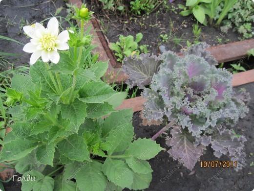 """наш газон """"Восточный орнамент"""". фирма Экзотика. 22 цветка, газон меняет свой облик в течение всего лета,сейчас он такой) никогда не видела раньше белые и розовые маки) фото 5"""