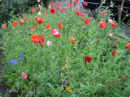 """наш газон """"Восточный орнамент"""". фирма Экзотика. 22 цветка, газон меняет свой облик в течение всего лета,сейчас он такой) никогда не видела раньше белые и розовые маки) фото 1"""