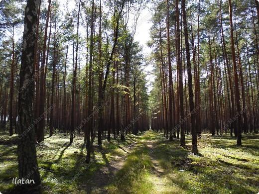 Привет, привет мои хорошие!  Сегодня, если Вы не против...едем в лес....!!!!  Ну Вы .....виртуально...это понятно..., а я как раз вернулась оттуда....и хочу с Вами поделиться красотой нашей Матушки Природы!  То что идем...? Ну то вперед! фото 10