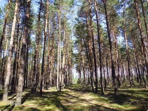 Привет, привет мои хорошие!  Сегодня, если Вы не против...едем в лес....!!!!  Ну Вы .....виртуально...это понятно..., а я как раз вернулась оттуда....и хочу с Вами поделиться красотой нашей Матушки Природы!  То что идем...? Ну то вперед! фото 11
