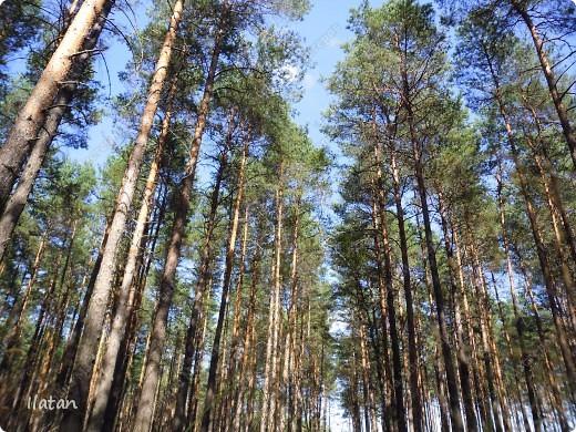 Привет, привет мои хорошие!  Сегодня, если Вы не против...едем в лес....!!!!  Ну Вы .....виртуально...это понятно..., а я как раз вернулась оттуда....и хочу с Вами поделиться красотой нашей Матушки Природы!  То что идем...? Ну то вперед! фото 12