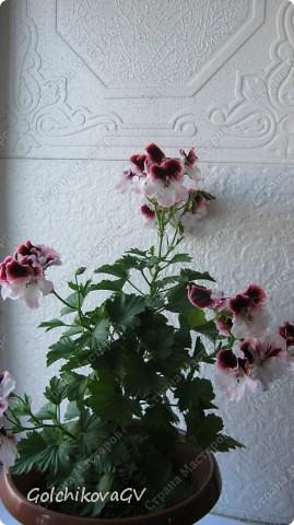 В последнее время полюбила герани. Сейчас они обильно цветут, а вот зимой цветов почти нет, моя искусственная герань будет цвести постоянно. фото 13