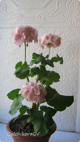В последнее время полюбила герани. Сейчас они обильно цветут, а вот зимой цветов почти нет, моя искусственная герань будет цвести постоянно. фото 12