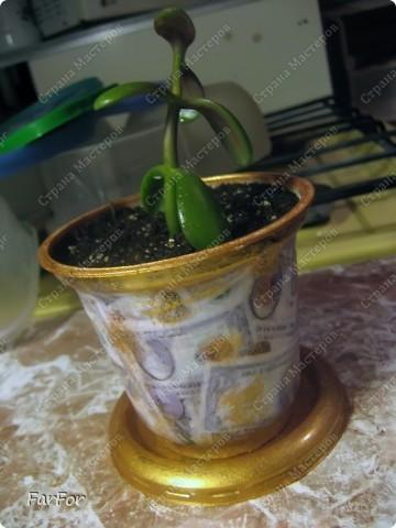 """Для денежного деревца денежный мотив. Надеюсь приживется и будет расти. Отросток был добыт """"по правилам""""))) фото 1"""