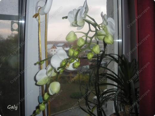 В прошлом году на день рождения мне подарили эту экзотику. Раньше с орхидеями дел никаких я не имела, с какого бока к ним подступиться даже не представляла, но теперь-то уж куда деваться... фото 1