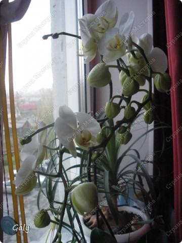 В прошлом году на день рождения мне подарили эту экзотику. Раньше с орхидеями дел никаких я не имела, с какого бока к ним подступиться даже не представляла, но теперь-то уж куда деваться... фото 3