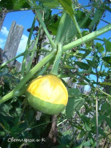 Урожай тыкв фото 3