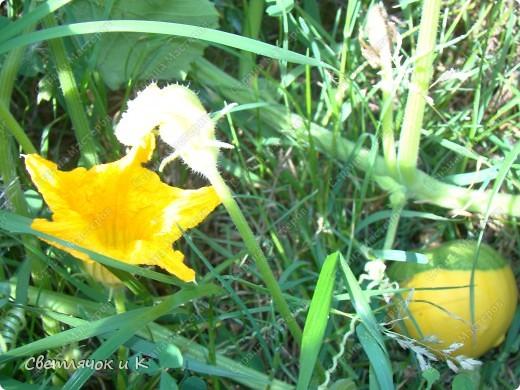 Урожай тыкв фото 4