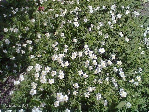 Какое сейчас замечательное время!  Все распускается прямо на глазах. Как замечательно жить и наслаждаться тем, что может подарить нам природа.  Очень люблю весны цветение и хочу поделиться с вами весенним настроением....фото с нашей дачи ))) фото 7