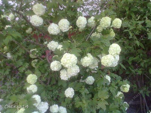 Какое сейчас замечательное время!  Все распускается прямо на глазах. Как замечательно жить и наслаждаться тем, что может подарить нам природа.  Очень люблю весны цветение и хочу поделиться с вами весенним настроением....фото с нашей дачи ))) фото 9