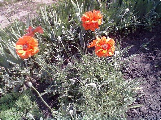 Какое сейчас замечательное время!  Все распускается прямо на глазах. Как замечательно жить и наслаждаться тем, что может подарить нам природа.  Очень люблю весны цветение и хочу поделиться с вами весенним настроением....фото с нашей дачи ))) фото 10