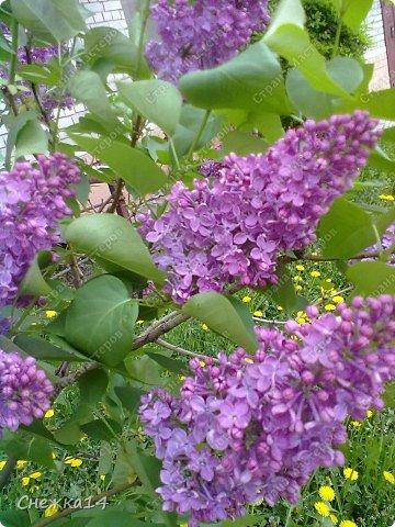 Какое сейчас замечательное время!  Все распускается прямо на глазах. Как замечательно жить и наслаждаться тем, что может подарить нам природа.  Очень люблю весны цветение и хочу поделиться с вами весенним настроением....фото с нашей дачи ))) фото 5