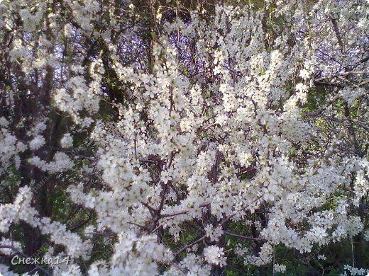 Какое сейчас замечательное время!  Все распускается прямо на глазах. Как замечательно жить и наслаждаться тем, что может подарить нам природа.  Очень люблю весны цветение и хочу поделиться с вами весенним настроением....фото с нашей дачи ))) фото 18