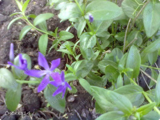 Какое сейчас замечательное время!  Все распускается прямо на глазах. Как замечательно жить и наслаждаться тем, что может подарить нам природа.  Очень люблю весны цветение и хочу поделиться с вами весенним настроением....фото с нашей дачи ))) фото 8