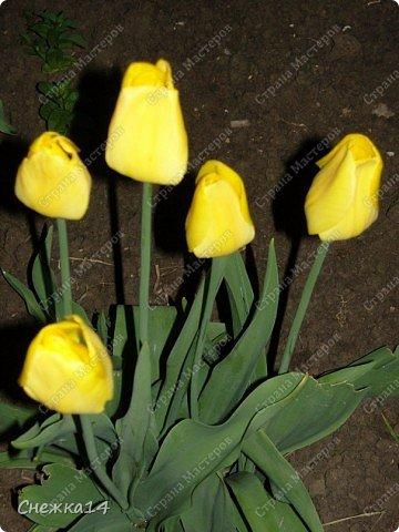 Какое сейчас замечательное время!  Все распускается прямо на глазах. Как замечательно жить и наслаждаться тем, что может подарить нам природа.  Очень люблю весны цветение и хочу поделиться с вами весенним настроением....фото с нашей дачи ))) фото 3
