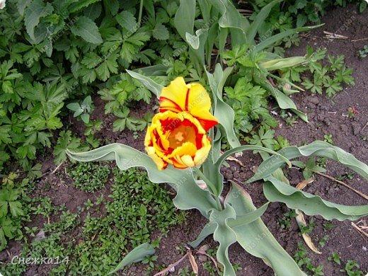 Какое сейчас замечательное время!  Все распускается прямо на глазах. Как замечательно жить и наслаждаться тем, что может подарить нам природа.  Очень люблю весны цветение и хочу поделиться с вами весенним настроением....фото с нашей дачи ))) фото 1