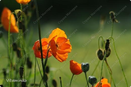 Хочу показать вам несколько весенне-летних фотографий. Сделаны они в разное время, точнее - в разные года, но захотелось объединить их на одной странице.  Так цветёт вяз. Ветки полностью облеплены вот такими махровыми цветами. Красота невероятная. фото 2