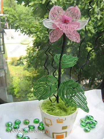 розовая орхидея фото 3