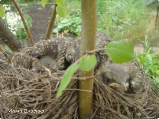 На нашей яблоне свили гнездо птички-в один из вых. мы обнаружили там 4 яичка, в след.вых.-вылупившихся головастиков, на след. неделе - вот таких оперившихся птенцов. Так как из меня орнитолог никакой, могу только предположить, что это дрозды. Яички были красивого изумрудно-зеленого цвета с черными крапинками. фото 3