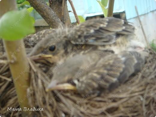 На нашей яблоне свили гнездо птички-в один из вых. мы обнаружили там 4 яичка, в след.вых.-вылупившихся головастиков, на след. неделе - вот таких оперившихся птенцов. Так как из меня орнитолог никакой, могу только предположить, что это дрозды. Яички были красивого изумрудно-зеленого цвета с черными крапинками. фото 4