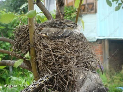 На нашей яблоне свили гнездо птички-в один из вых. мы обнаружили там 4 яичка, в след.вых.-вылупившихся головастиков, на след. неделе - вот таких оперившихся птенцов. Так как из меня орнитолог никакой, могу только предположить, что это дрозды. Яички были красивого изумрудно-зеленого цвета с черными крапинками. фото 5