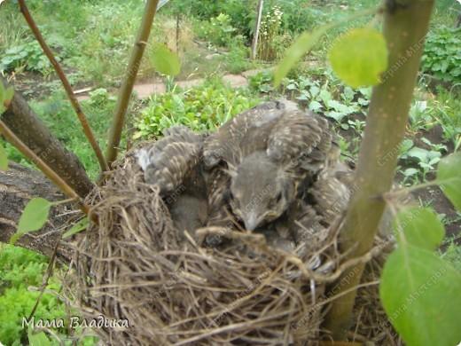 На нашей яблоне свили гнездо птички-в один из вых. мы обнаружили там 4 яичка, в след.вых.-вылупившихся головастиков, на след. неделе - вот таких оперившихся птенцов. Так как из меня орнитолог никакой, могу только предположить, что это дрозды. Яички были красивого изумрудно-зеленого цвета с черными крапинками. фото 7