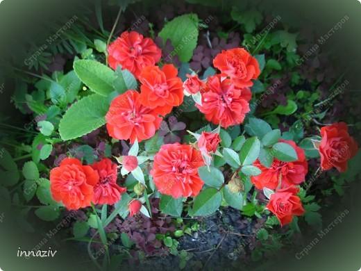 Розы на севере фото 6