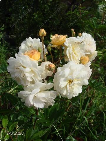 Розы на севере фото 3