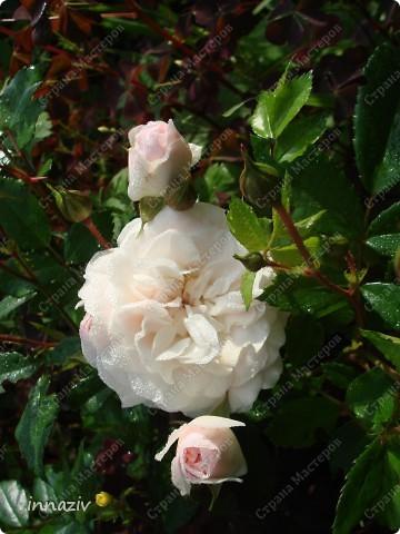 Розы на севере фото 1