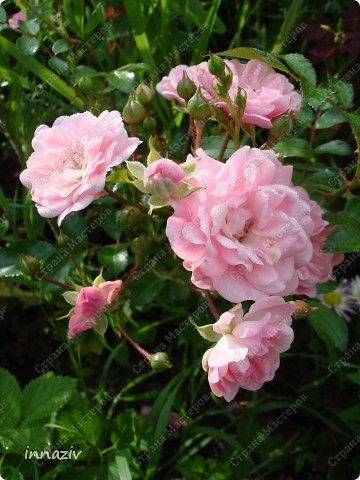 Розы на севере фото 4
