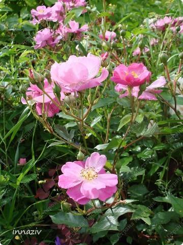 Розы на севере фото 5