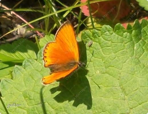 Очень увлекательно наблюдать за бабочками и их фотографировать. А сколько разных видов можно встретить в лесу, в поле и в огороде. Конечно, не все желают позировать, некоторые даже и не присядут, но всё-таки удаётся иногда сфотать даже самых строптивых. За этой перламутровкой гонялась минут пять, а когда устала и бросила это дело, она присела на чертополох и сидела на нём, не обращая на меня никакого внимания. И я поняла: это она место красивое выбирала. Думаю, что фото удалось. фото 11