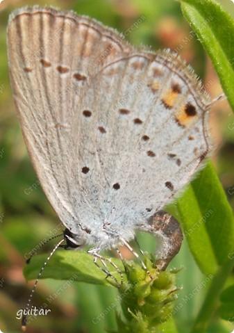 Очень увлекательно наблюдать за бабочками и их фотографировать. А сколько разных видов можно встретить в лесу, в поле и в огороде. Конечно, не все желают позировать, некоторые даже и не присядут, но всё-таки удаётся иногда сфотать даже самых строптивых. За этой перламутровкой гонялась минут пять, а когда устала и бросила это дело, она присела на чертополох и сидела на нём, не обращая на меня никакого внимания. И я поняла: это она место красивое выбирала. Думаю, что фото удалось. фото 8