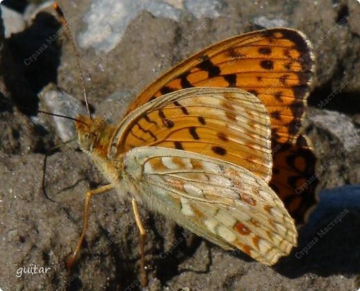 Очень увлекательно наблюдать за бабочками и их фотографировать. А сколько разных видов можно встретить в лесу, в поле и в огороде. Конечно, не все желают позировать, некоторые даже и не присядут, но всё-таки удаётся иногда сфотать даже самых строптивых. За этой перламутровкой гонялась минут пять, а когда устала и бросила это дело, она присела на чертополох и сидела на нём, не обращая на меня никакого внимания. И я поняла: это она место красивое выбирала. Думаю, что фото удалось. фото 2