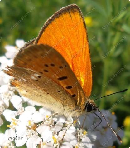 Очень увлекательно наблюдать за бабочками и их фотографировать. А сколько разных видов можно встретить в лесу, в поле и в огороде. Конечно, не все желают позировать, некоторые даже и не присядут, но всё-таки удаётся иногда сфотать даже самых строптивых. За этой перламутровкой гонялась минут пять, а когда устала и бросила это дело, она присела на чертополох и сидела на нём, не обращая на меня никакого внимания. И я поняла: это она место красивое выбирала. Думаю, что фото удалось. фото 12