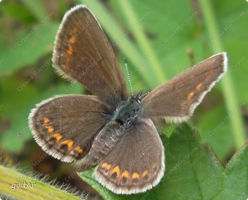 Очень увлекательно наблюдать за бабочками и их фотографировать. А сколько разных видов можно встретить в лесу, в поле и в огороде. Конечно, не все желают позировать, некоторые даже и не присядут, но всё-таки удаётся иногда сфотать даже самых строптивых. За этой перламутровкой гонялась минут пять, а когда устала и бросила это дело, она присела на чертополох и сидела на нём, не обращая на меня никакого внимания. И я поняла: это она место красивое выбирала. Думаю, что фото удалось. фото 10