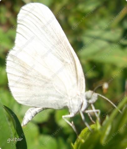 Очень увлекательно наблюдать за бабочками и их фотографировать. А сколько разных видов можно встретить в лесу, в поле и в огороде. Конечно, не все желают позировать, некоторые даже и не присядут, но всё-таки удаётся иногда сфотать даже самых строптивых. За этой перламутровкой гонялась минут пять, а когда устала и бросила это дело, она присела на чертополох и сидела на нём, не обращая на меня никакого внимания. И я поняла: это она место красивое выбирала. Думаю, что фото удалось. фото 15