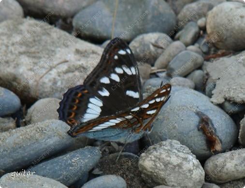Очень увлекательно наблюдать за бабочками и их фотографировать. А сколько разных видов можно встретить в лесу, в поле и в огороде. Конечно, не все желают позировать, некоторые даже и не присядут, но всё-таки удаётся иногда сфотать даже самых строптивых. За этой перламутровкой гонялась минут пять, а когда устала и бросила это дело, она присела на чертополох и сидела на нём, не обращая на меня никакого внимания. И я поняла: это она место красивое выбирала. Думаю, что фото удалось. фото 29