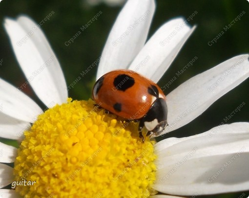 Очень увлекательно наблюдать за бабочками и их фотографировать. А сколько разных видов можно встретить в лесу, в поле и в огороде. Конечно, не все желают позировать, некоторые даже и не присядут, но всё-таки удаётся иногда сфотать даже самых строптивых. За этой перламутровкой гонялась минут пять, а когда устала и бросила это дело, она присела на чертополох и сидела на нём, не обращая на меня никакого внимания. И я поняла: это она место красивое выбирала. Думаю, что фото удалось. фото 33