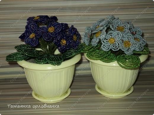 хризантема голубая фото 7