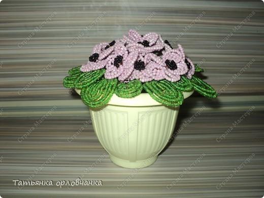 хризантема голубая фото 5