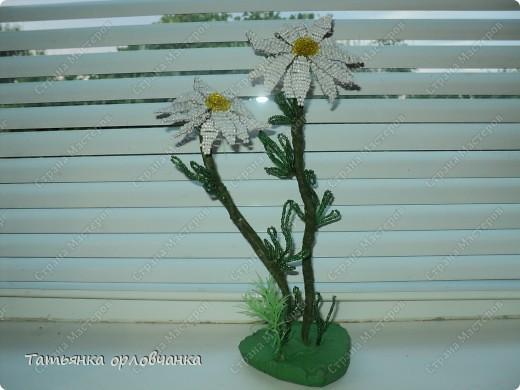 хризантема голубая фото 3