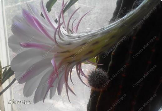 И снова расцвел мой кактус -красавец!  Этот кактус растет у моей мамы, ему уже около 30 лет, цветет каждый год, а в этом году он уже трижды цвел.  фото 8