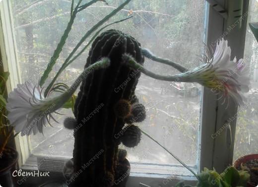 И снова расцвел мой кактус -красавец!  Этот кактус растет у моей мамы, ему уже около 30 лет, цветет каждый год, а в этом году он уже трижды цвел.  фото 6