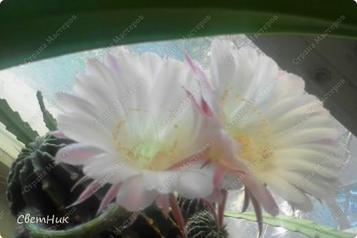 И снова расцвел мой кактус -красавец!  Этот кактус растет у моей мамы, ему уже около 30 лет, цветет каждый год, а в этом году он уже трижды цвел.  фото 4