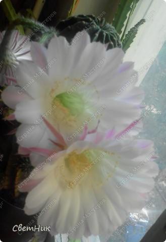 И снова расцвел мой кактус -красавец!  Этот кактус растет у моей мамы, ему уже около 30 лет, цветет каждый год, а в этом году он уже трижды цвел.  фото 5