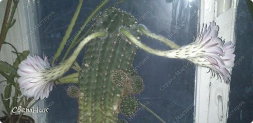И снова расцвел мой кактус -красавец!  Этот кактус растет у моей мамы, ему уже около 30 лет, цветет каждый год, а в этом году он уже трижды цвел.  фото 7